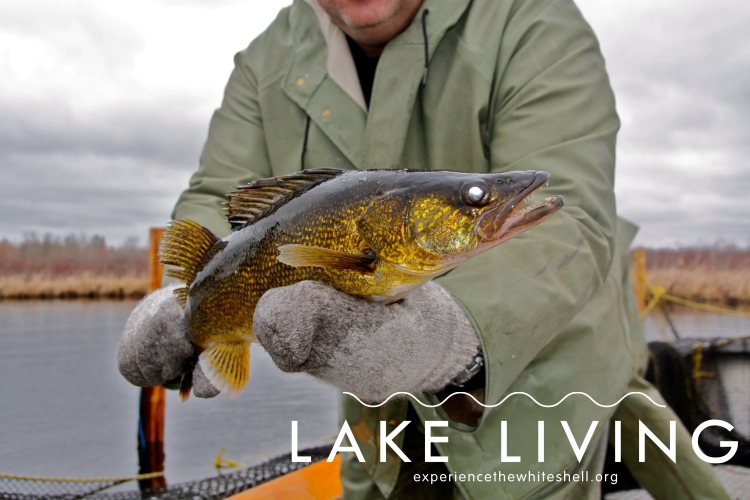 Falcon Lake walleye.