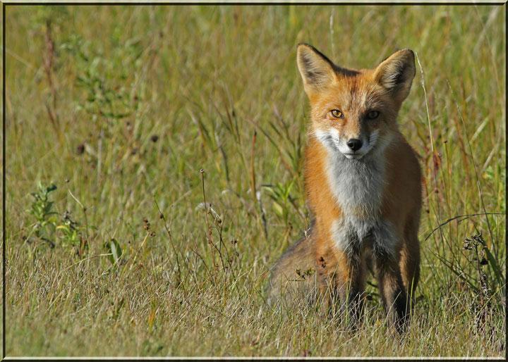 =foxy2